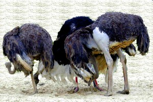 Ostriches-head-in-sand2