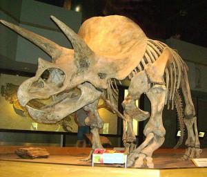 dinosaur -TriceratopsTyrrellMuseum1