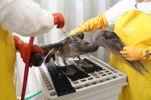 female_brown_pelican_being_rinsed_following_extensive_cleaning_at_the_theodore_oiled_bird_rehabilitation_center_in_alabama-_5015288134